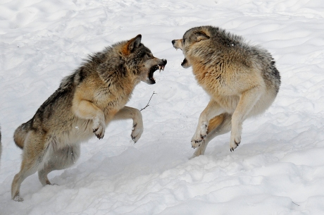 wolves--fighting